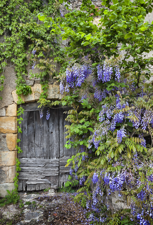 Beautiful wisteria around an ancient wooden door in the Dordogne