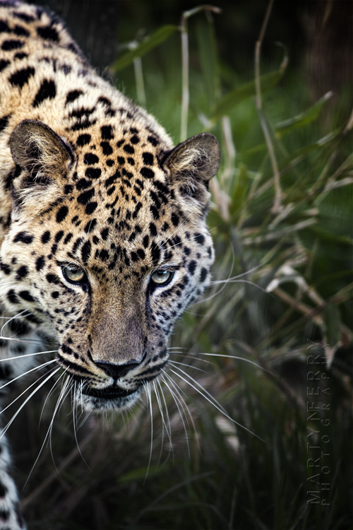 Beautiful patterned leopard looks towards the camera