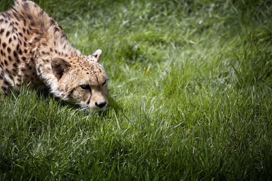 Cheetah stalks something in the grass