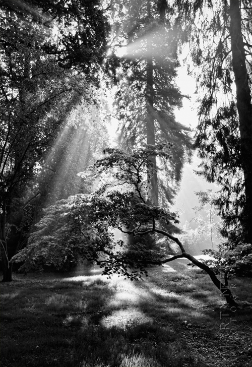 Black and white image of sunbeams through trees