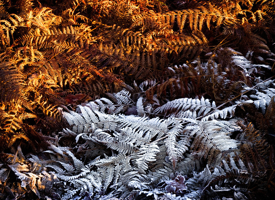 Winter image of ferns in the morning frost and sun