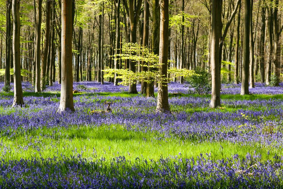 Spring bluebells at West Woods