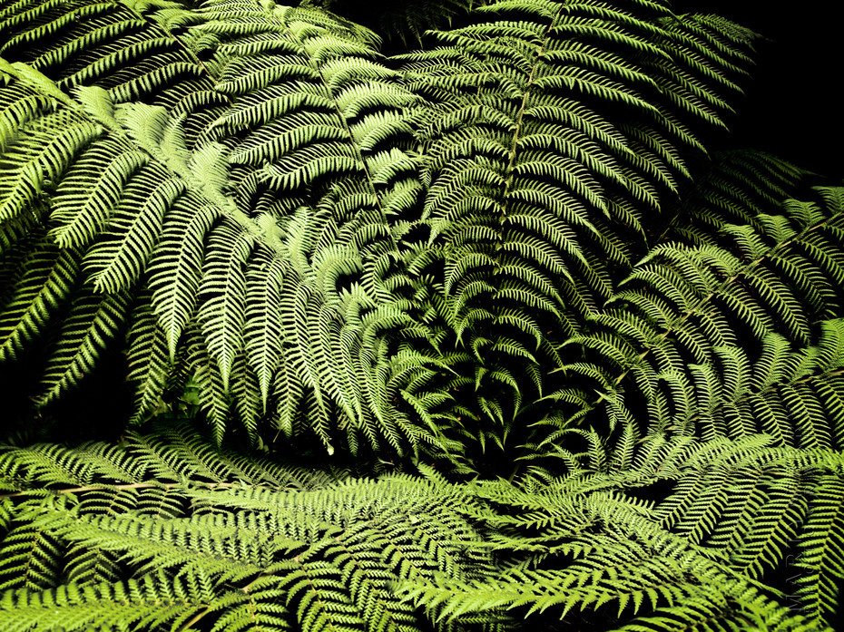Beautiful radial display of fern fronds