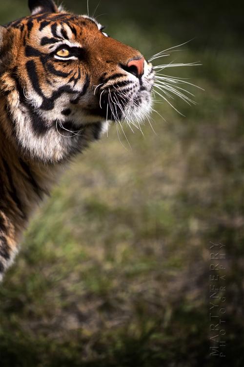 Beautiful Sumatran tiger looking to the sky