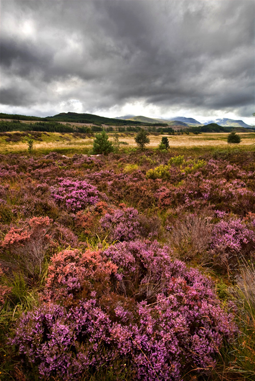 Photo of beautiful heather with stormy skies above
