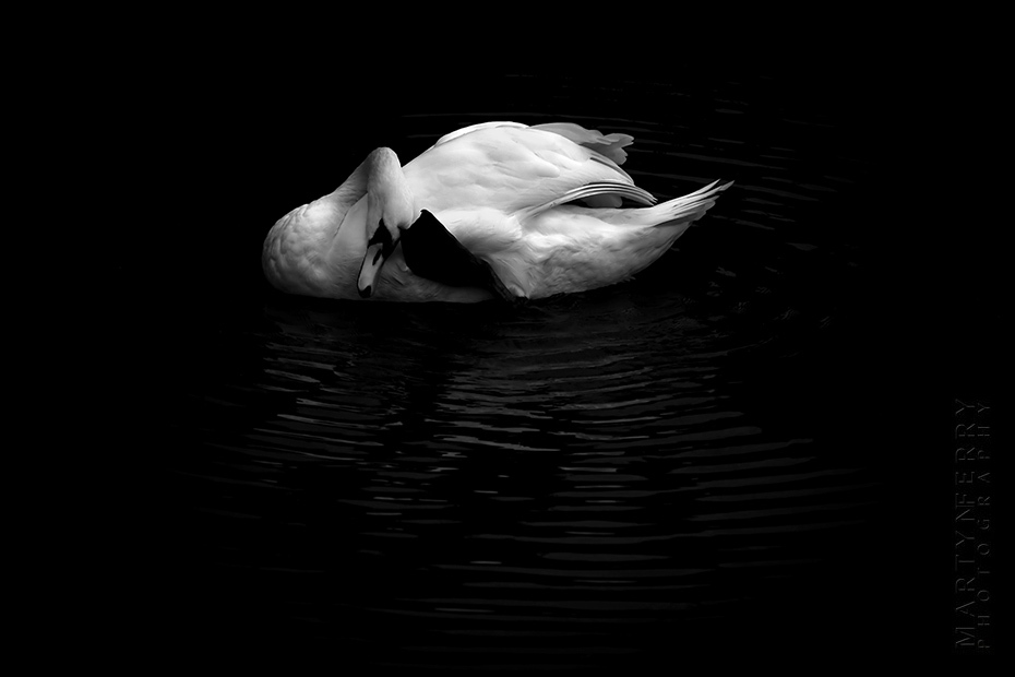 Beautiful image of swan grooming in black and white