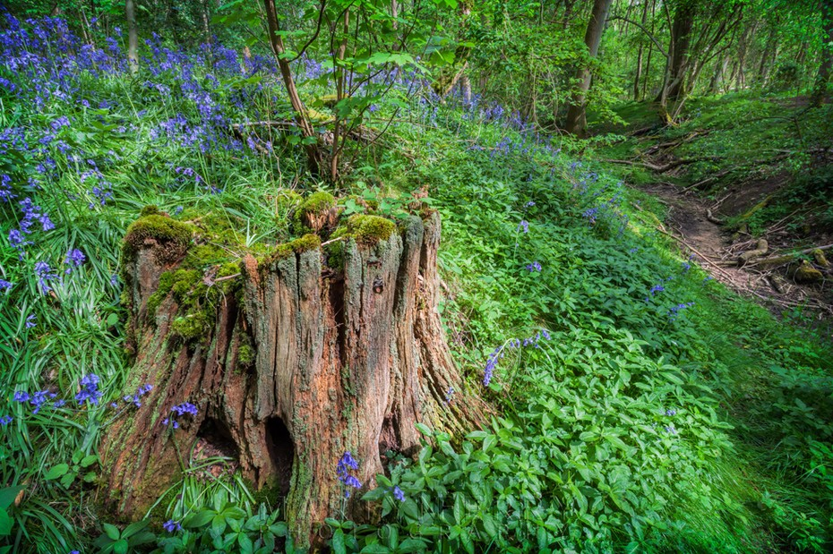 Tree stump surrounded by bluebells in a Wildlife Trust woods