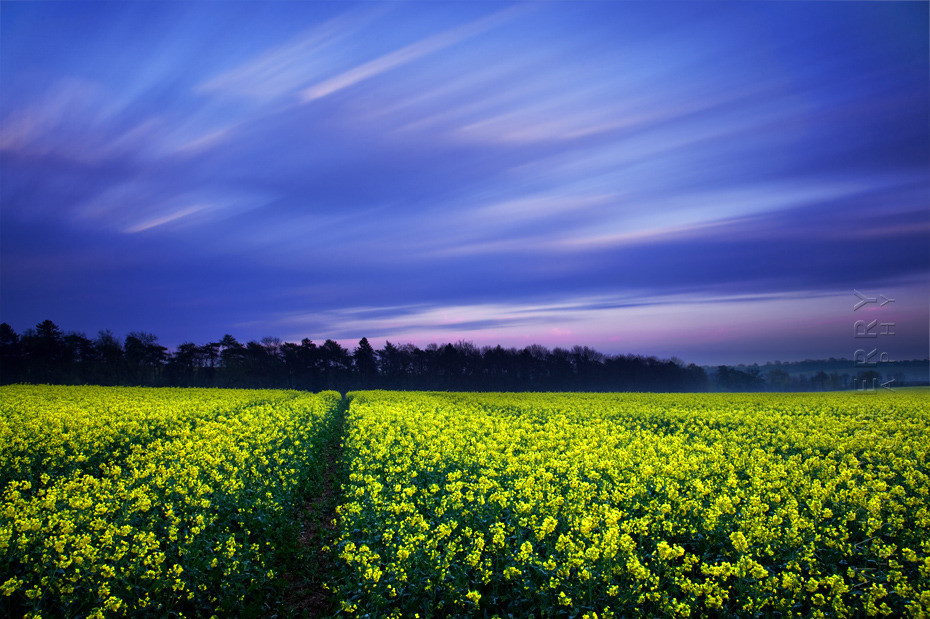 Evening photograph of striking yellow field at sunset in the Cotswolds