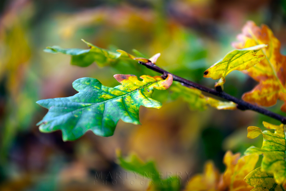 Oak leaf changing into autumn colours at Monks Wood