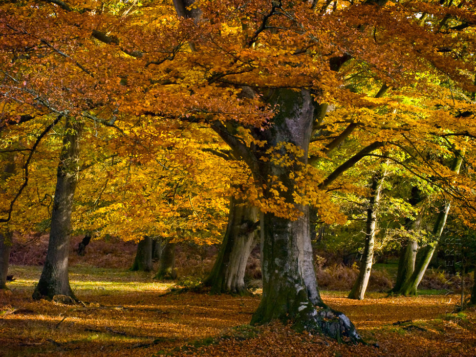Beech trees in autumn in the New Forest
