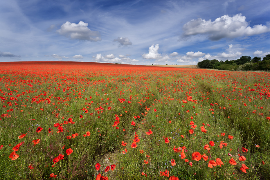 Summer field of bright red poppies under a blue sky