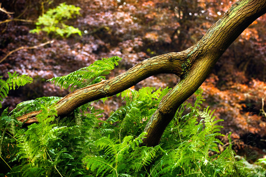 Photograph of a forked branch plunging into ferns