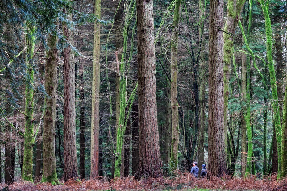 Two people walk beneath huge trees in the New Forest