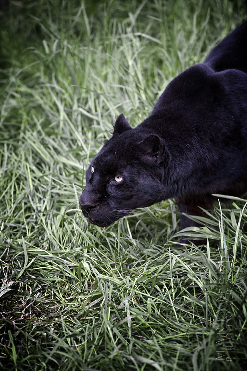 Aggressive black leopard snarls