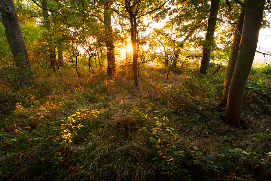 Sunset beams through the trees at Monks Wood in Cambridgeshire