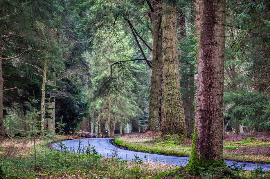 An empty road winds beneath giant trees in the New Forest