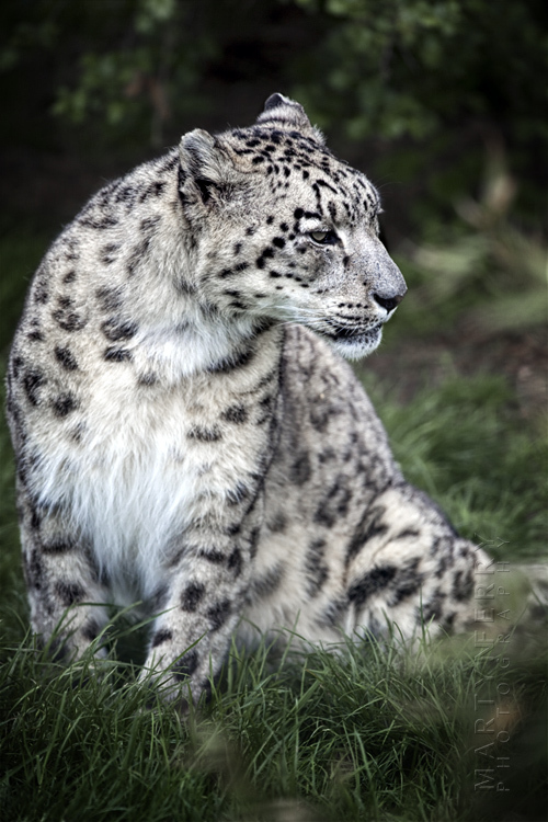 Photo of snow leopard relaxing