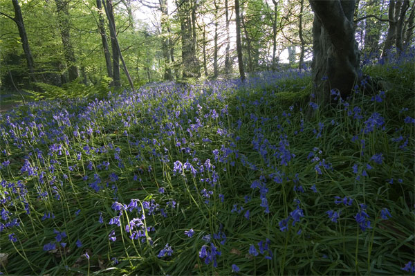 Evening Bluebells - Manx National Glens