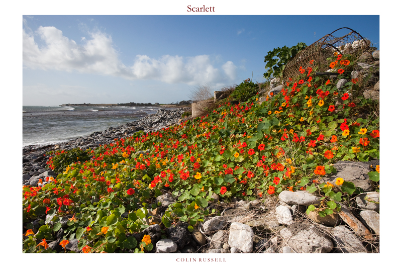 Scarlett Nasturtiums - Isle of Man Seascapes/Coastal