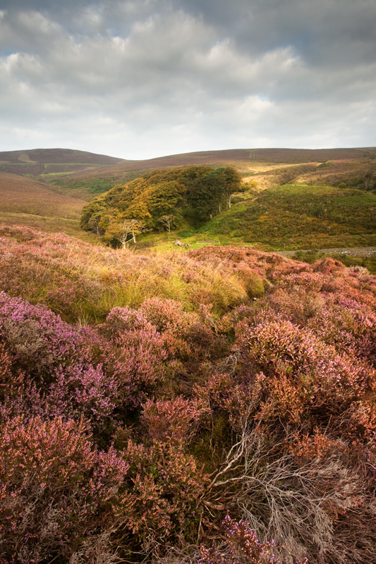Heather in the Dale - Isle of Man Landscapes
