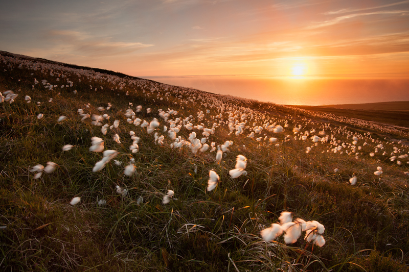 Cotton Grass - Isle of Man Landscapes