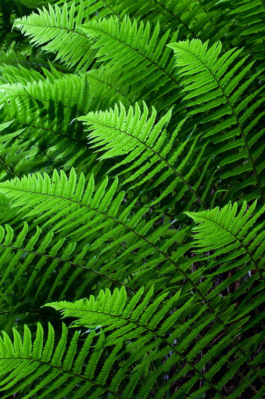 Backlit Ferns - The Isle of Man Close Up