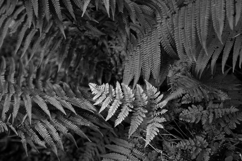 Silver Fern - The Isle of Man Close Up