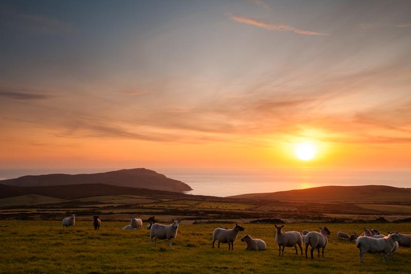 Sheep - Isle of Man Landscapes