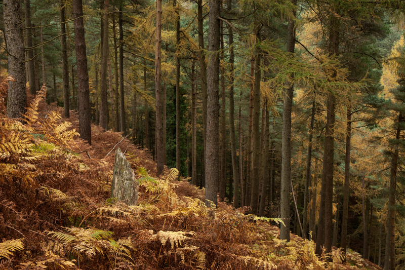 Forest Stump - Isle of Man Landscapes
