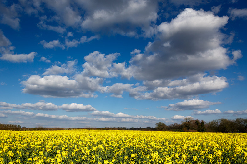 Rapeseed Field - Landscapes