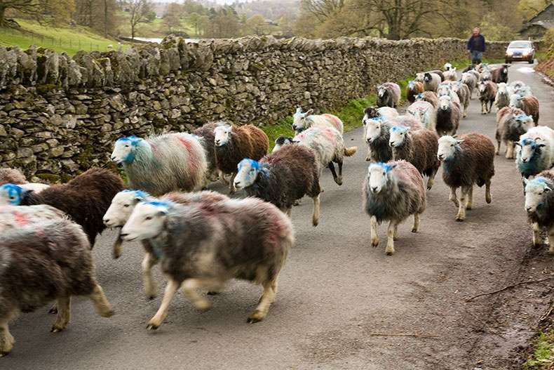 Cumbrian sheep 1 - Lake District