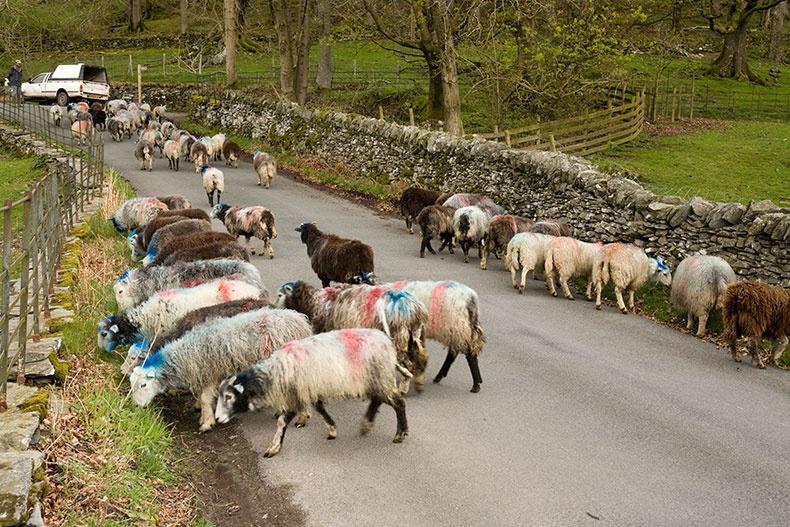 Cumbrian Sheep 2 - Lake District