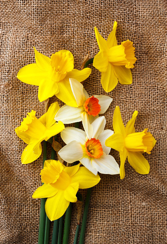Daffodils - Close Up & Still Life