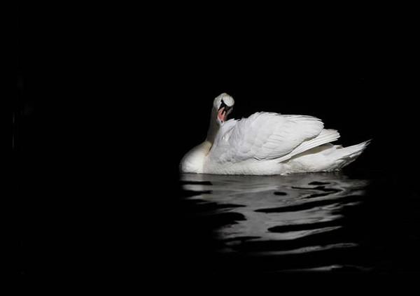 White Swan - Fauna