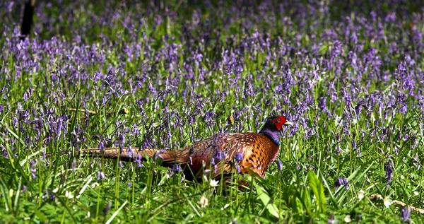 Bluebell Pheasant - Fauna
