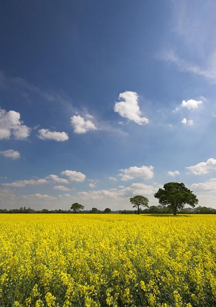 Golden Fields - Landscapes
