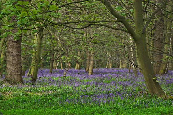 Bluebell Woods - Flora