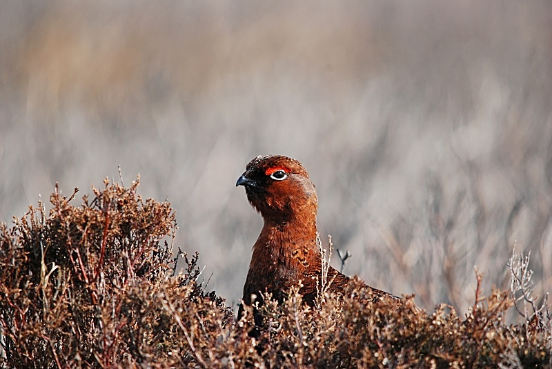 February 2010 - Red Grouse - Photos of the month