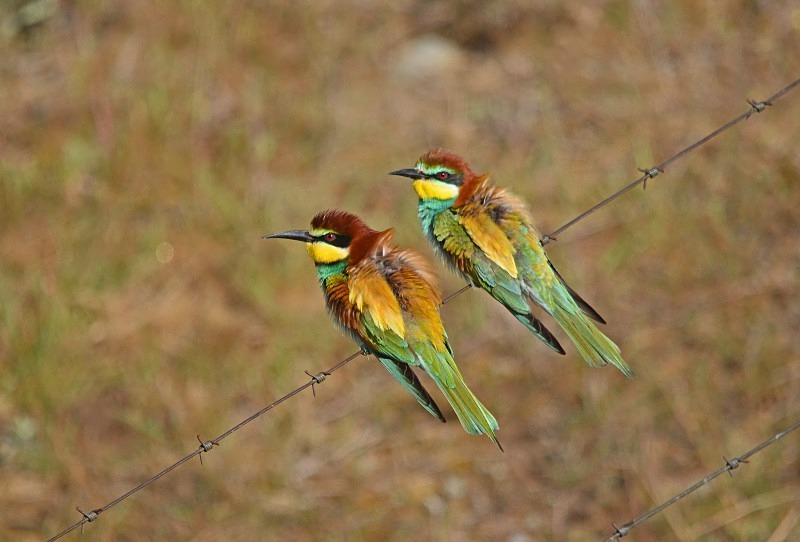 April 2012 - European Bee-eater - Photos of the month