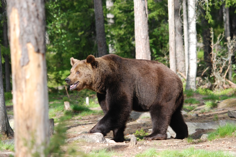 June 2009 - Brown Bear - Photos of the month