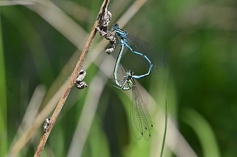 May 2012 - Common Blue Damselflies - Photos of the month