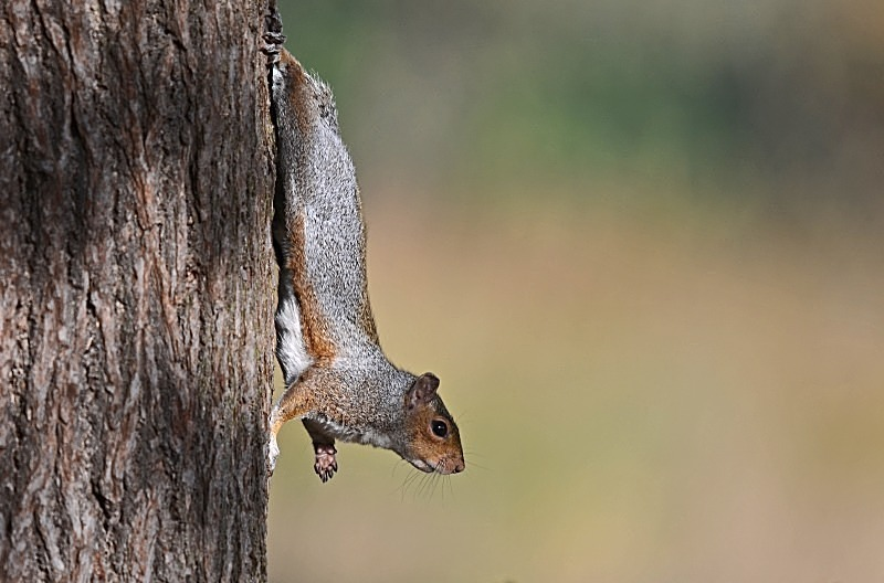 October 2012 - Grey Squirrel - Photos of the month