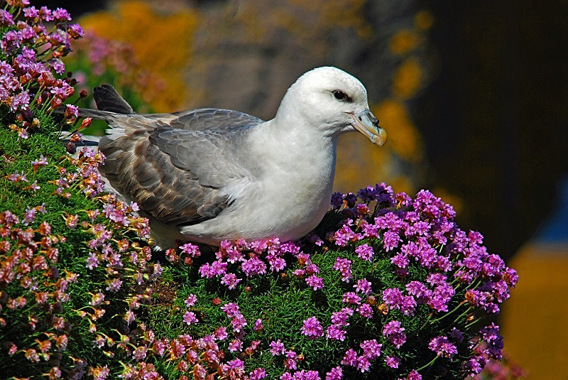 June 2010 - Fulmar - Photos of the month