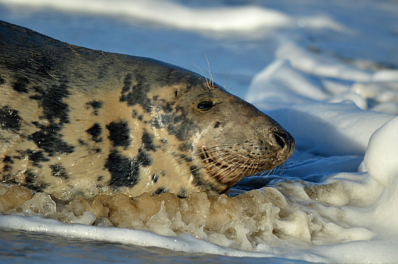 October to December 2015 - Atlantic Grey Seal - Photos of the month