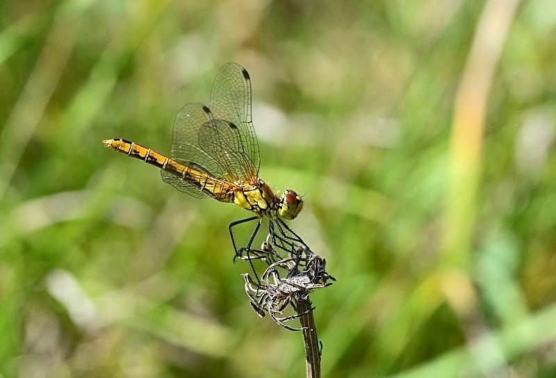 August 2011 - Ruddy Darter - Photos of the month