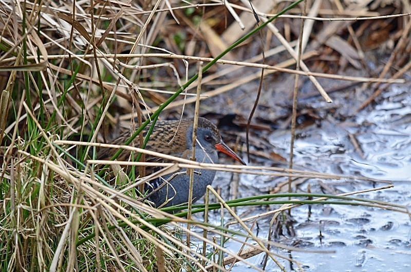 March to April 2013 - Water Rail - Photos of the month