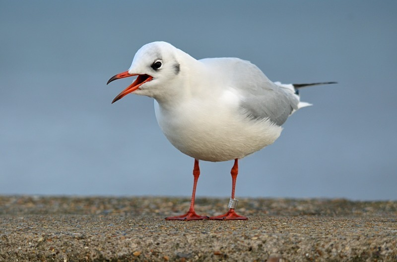 December 2011 - Black-headed Gull - Photos of the month
