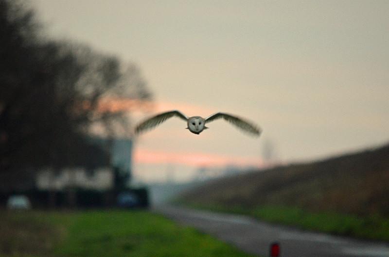 Barn Owl - Owls