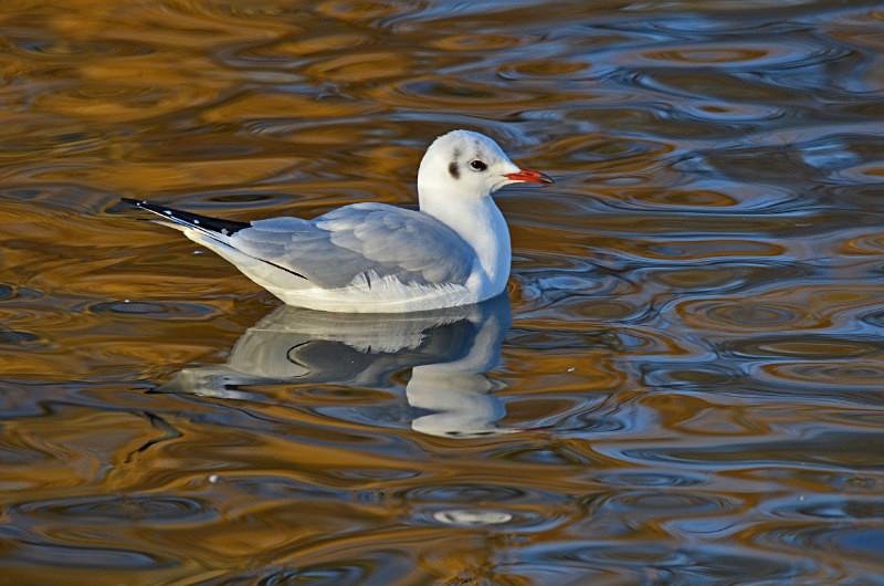 Black-headed Gull - Gulls