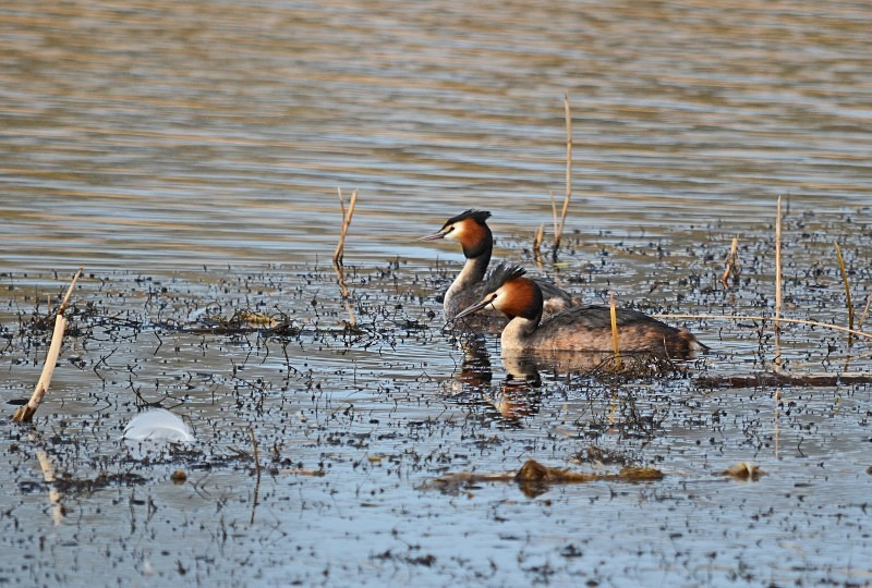 March 2012 - Great Crested Grebes - Photos of the month